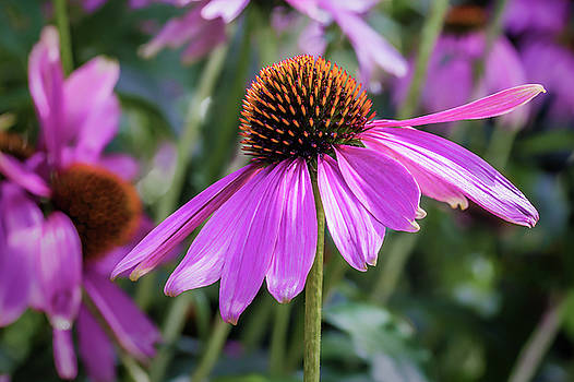 Eastern Purple Coneflower by Tim Abeln