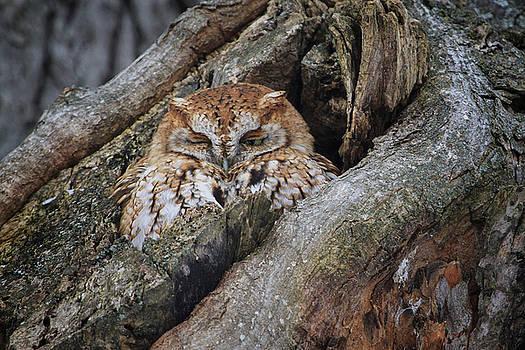 Gary Hall - Eastern Screech Owl 2