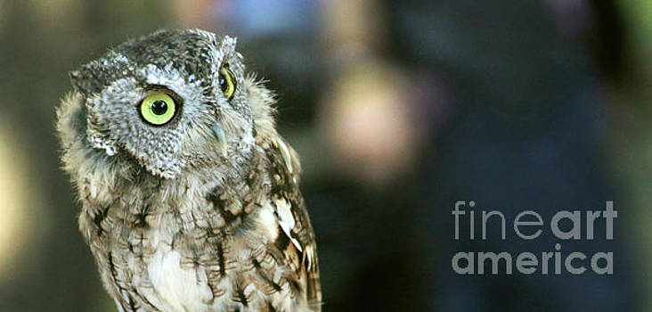 Gary Gingrich Galleries - Eastern Screech Owl-6945