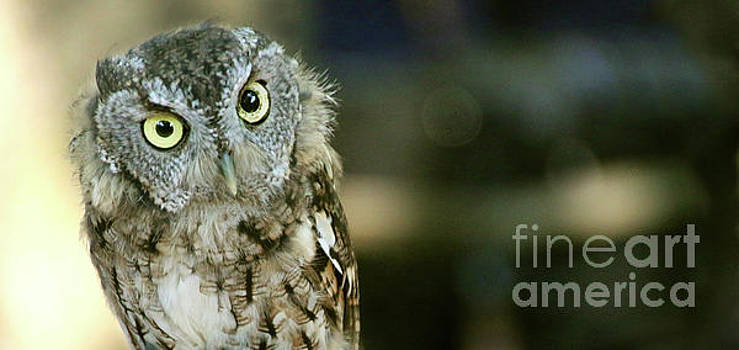 Gary Gingrich Galleries - Eastern Screech Owl-6950