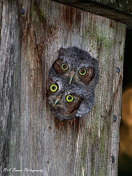 Barbara Bowen - Eastern Screech Owl Chicks