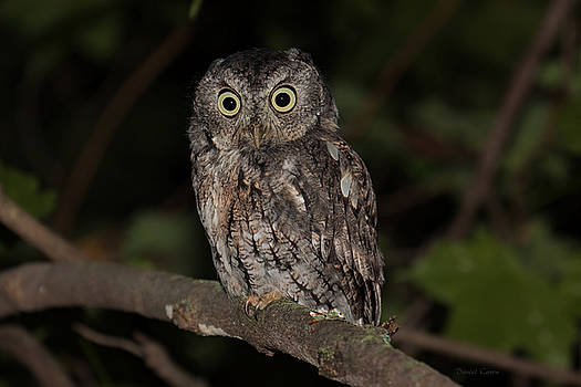 Eastern Screech Owl by Daniel Caron