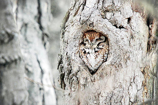 Eastern Screech Owl in Providence by Peter Green