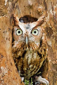 Jill Lang - Eastern Screech Owl