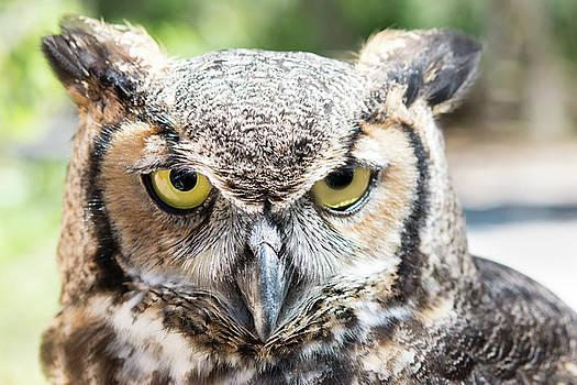 Eastern Screech Owl Portrait by Gene Norris
