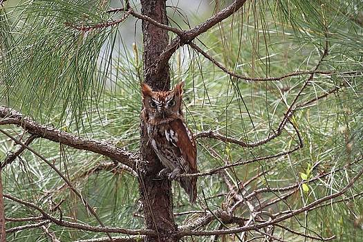 Eastern Screech Owl by Stacey Steinberg