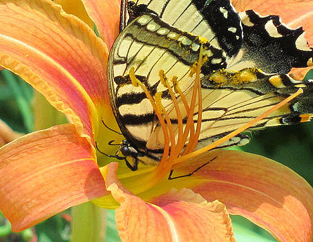 Eastern Swallowtail Butterfly in Orange Day Lily by Lisa Shea