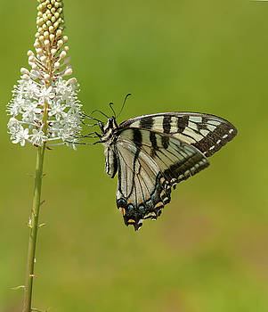 Eastern Swallowtail on Fly Poison by Lara Ellis