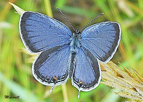 Eastern Tailed Blue Butterfly by Maxwell