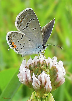 Eastern Tailed Blue Butterfly White Clover by Maxwell