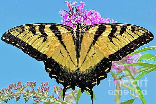 Regina Geoghan - Eastern Tiger Swallowtail Butterfly Beauty