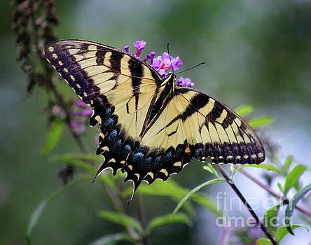 Eastern Tiger Swallowtail Butterfly Dorsal View 2017 by Karen Adams