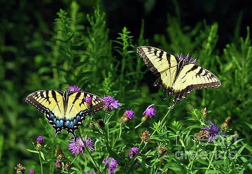 Eastern Tiger Swallowtail Butterfly - Female and Male  by Kerri Farley