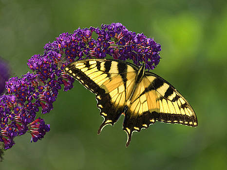 Eastern Tiger Swallowtail Butterfly by Laura Greene
