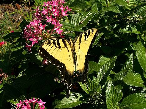 Eastern Tiger Swallowtail Butterfly by Theresa Willingham