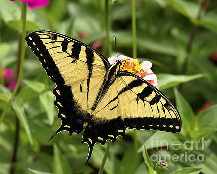 Eastern Tiger Swallowtail Butterfly Wingspan by Candy Frangella