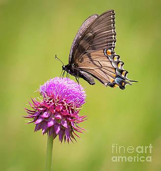 Eastern Tiger Swallowtail Dark Form  by Ricky L Jones