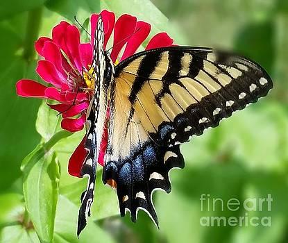 Eastern Tiger Swallowtail  by Elizabeth Briggs