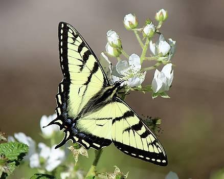 Eastern Tiger Swallowtail Female by David Pickett