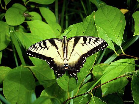 Eastern Tiger Swallowtail  by Hannah Underhill