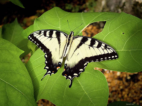 Eastern Tiger Swallowtail - Male by Hannah Underhill