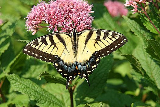 Eastern Tiger Swallowtail on Joe-pye Weed by Doris Dumrauf