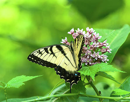 Eastern Tigerswallowtail on Milkweed by Lara Ellis