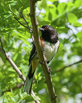 Eastern Towhee 2 by Lara Ellis