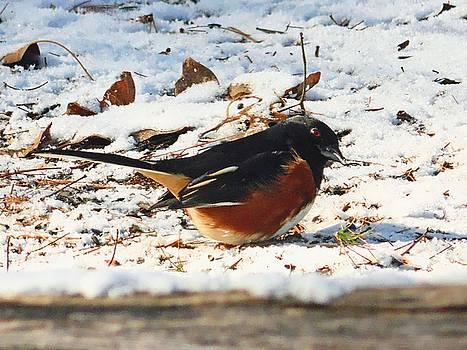 Joe Duket - Eastern Towhee in Winter