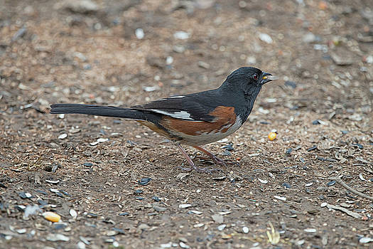 Eastern Towhees are birds of the undergrowth by Dan Friend