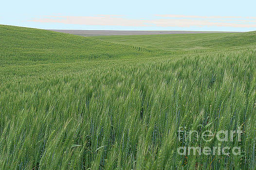 Eastern WA Wheatfields by Rich Collins