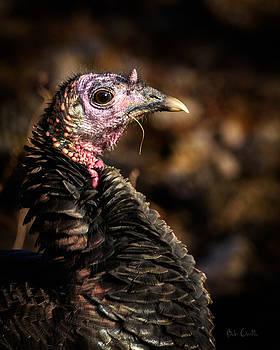 Eastern Wild Turkey by Bob Orsillo