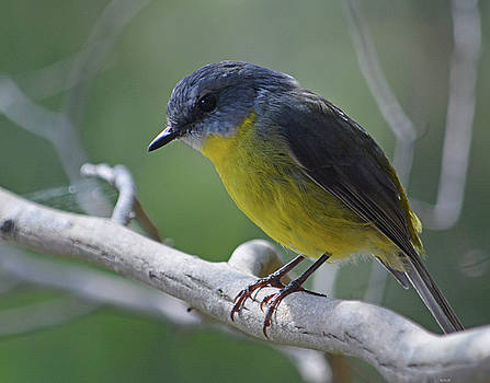 Eastern Yellow Robin by Peter Krause