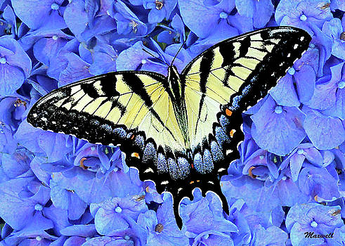 Eastern Yellow Tiger Swallowtail Butterfly by Maxwell