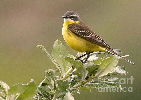 Eastern Yellow Wagtail by Myrna Bradshaw