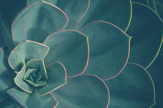 Echeveria by Olivia StClaire