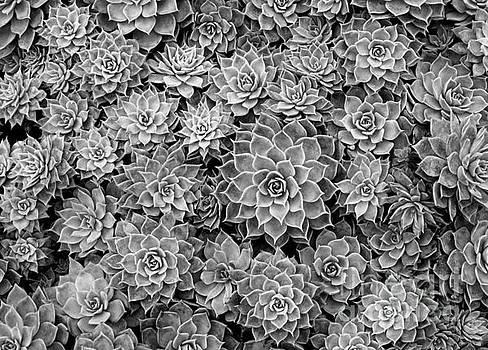 Echeveria monochrome by Ranjini Kandasamy
