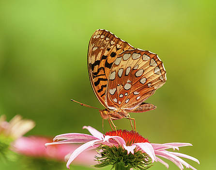 Echinacea And Fritillary Butterfly by Lara Ellis