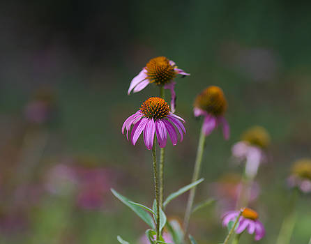 Echinacea by Billy Stovall