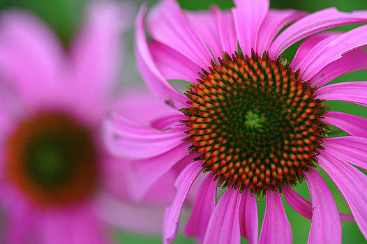Echinacea by Brady Lane