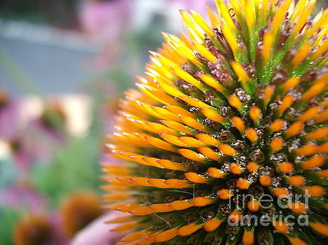 Echinacea Center by Iris Newman