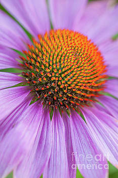 Echinacea coneflower close-up by Martin Williams