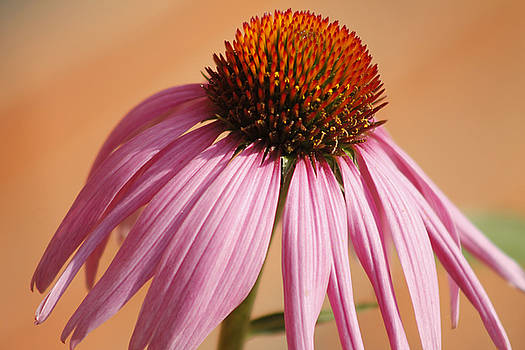 Echinacea Coneflower by Danielle Allard