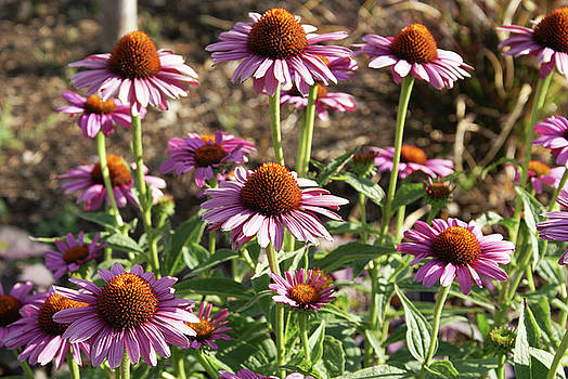 Echinacea by Cynthia Powell