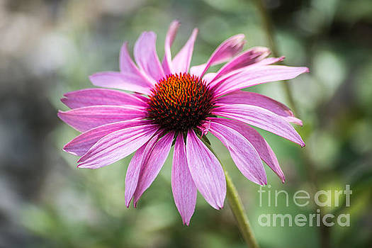 Echinacea by Hannes Cmarits