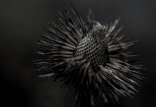 Erin Thomas - Echinacea in Winter