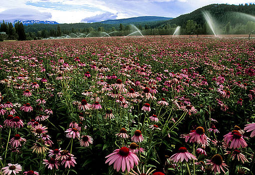 Echinacea purpurea by Steven Foster