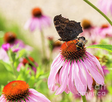 Compuinfoto - Echinacea purpurea   with butterfly