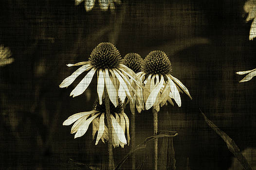 Echinacea by Terrie Taylor