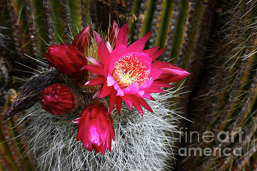 James Brunker - Echinopsis Cactus in Flower Bolivia